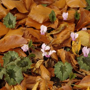 Photo: Cyclamen hederifolium