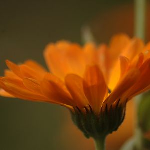Photo: Calendula officinalis