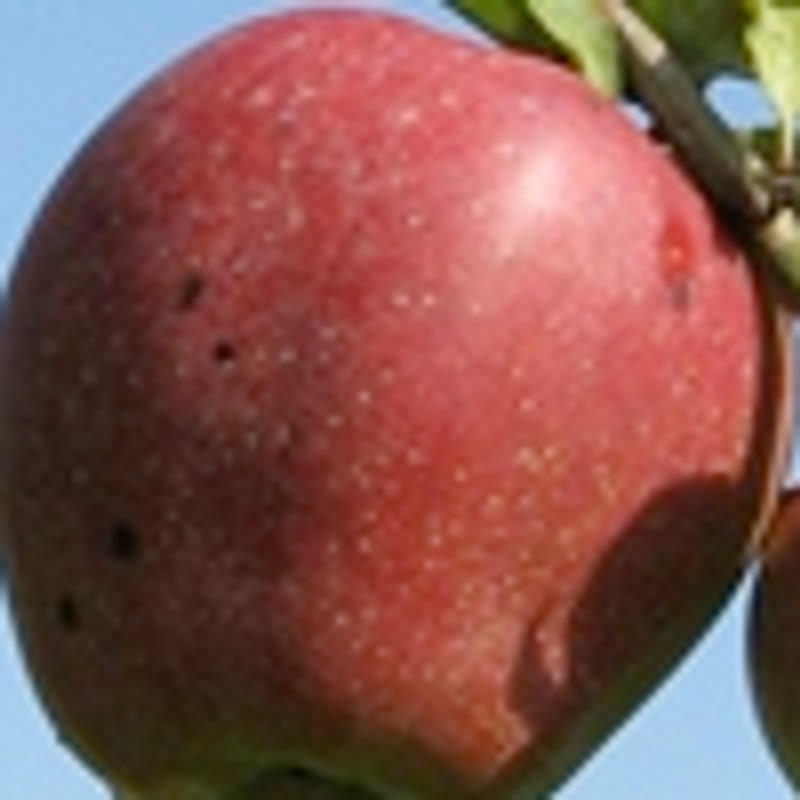 Photo: Malus domestica 'Zoete Ermgaard'