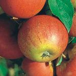 Photo: Malus domestica 'Elstar'/'Cox Orange Pippin'/'Golden Delicious'