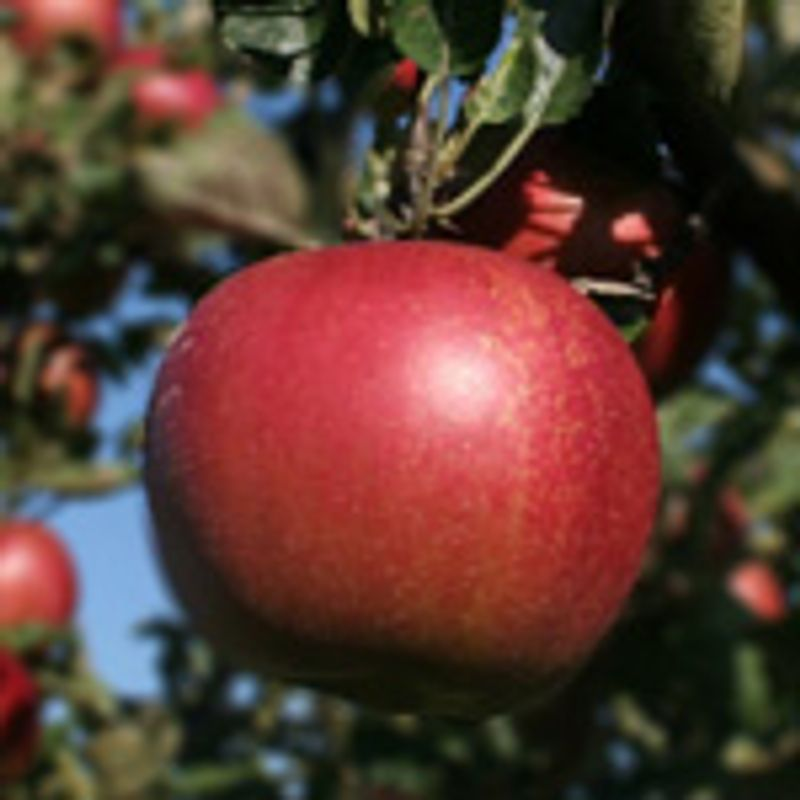 Photo: Malus domestica 'Rosanna'