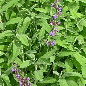 Photo: Sauge officinale