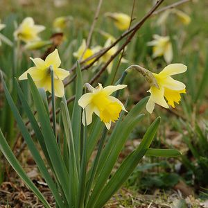 Photo: Narcissus pseudonarcissus subsp. pseudonarcissus
