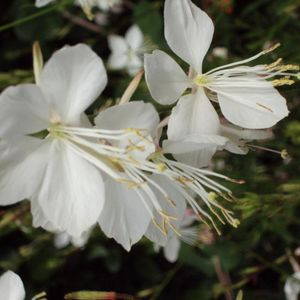 Photo: Gaura lindheimeri