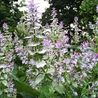 Photo: Salvia sclarea