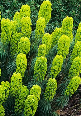Photo: Euphorbia Characias wulfenii