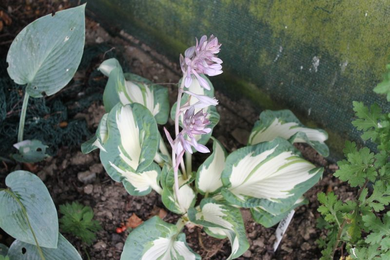 Photo: Hosta 'Andrew'