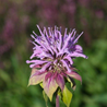 Photo: Monarda 'Elsie's Lavender'