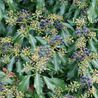 Photo: Hedera helix 'Zorgvlied'