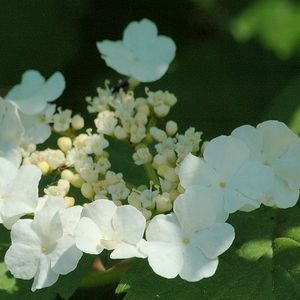 Photo: Viburnum opulus
