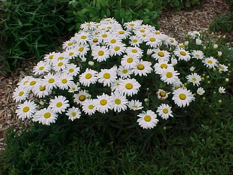 Photo: Leucanthemum superbum 'Dwarf Snow Lady'