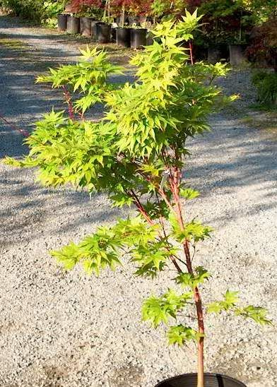 Photo: Acer palmatum 'Sangokaku'