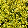 Photo: Ilex crenata golden gem
