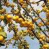 Photo: Malus 'Golden Hornet'