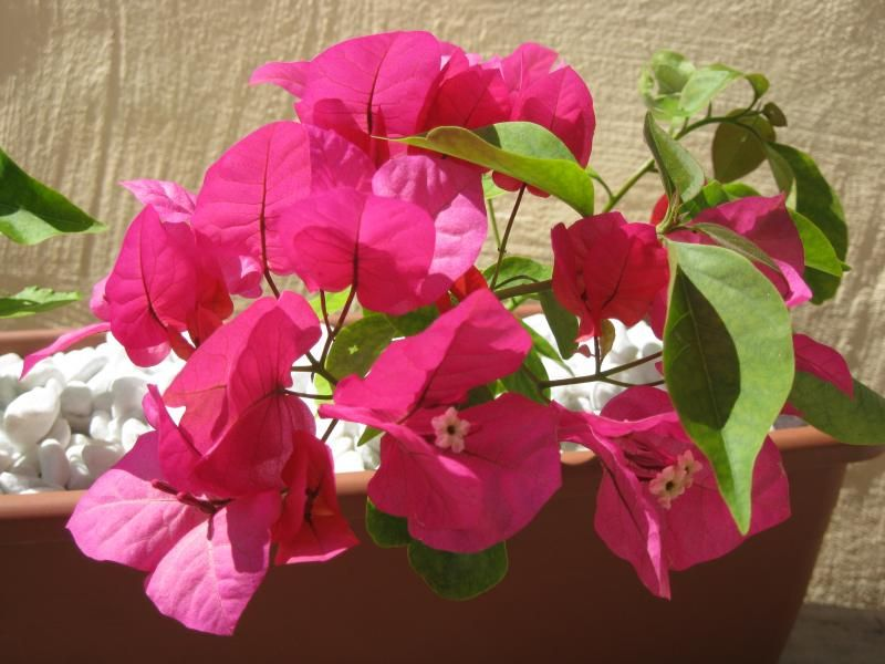 Photo: Bougainvillea