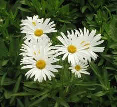Photo: Marguerite 'Silver Princess'