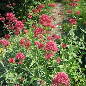 Photo: Centranthus ruber 'Coccineus'