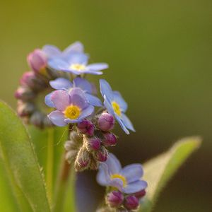 Photo: Myosotis sylvatica