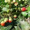 Photo: Fragaria × ananassa 'Mara des Bois'