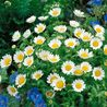 Photo: Chrysanthemum paludosum