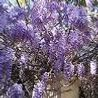 Photo: Wisteria sinensis 'Prolific'