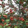 Photo: Malus 'Everest'
