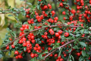 Photo: Cotoneaster 'Coral beauty'