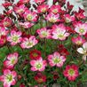Photo: Saxifraga 'Purpurteppich'
