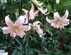 "Photo: Lilium ""Sweet surrender"""