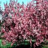 Photo: Malus 'Liset'