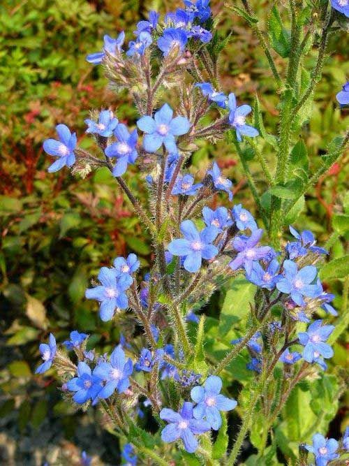 Photo: Anchusa azurea 'Dropmore'
