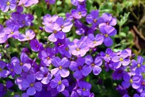 Photo: Aubrieta hybrides