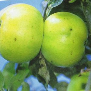 Photo: Malus domestica 'Donja'