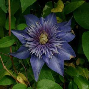 Photo: Clematis 'Crystal Fountain'