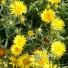 Photo: Inula ensifolia