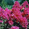 Photo: Phlox Paniculata 'Starfire'