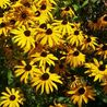 Photo: Rudbeckia fulgida 'Goldsturm'