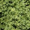 Photo: Thymus praecox 'Highland Cream'