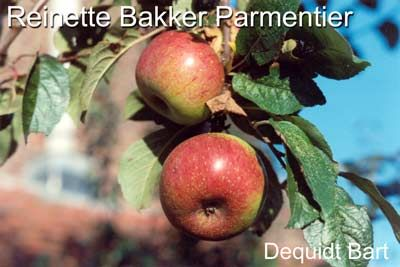 Photo: Malus domestica 'renette bakker parmentier'