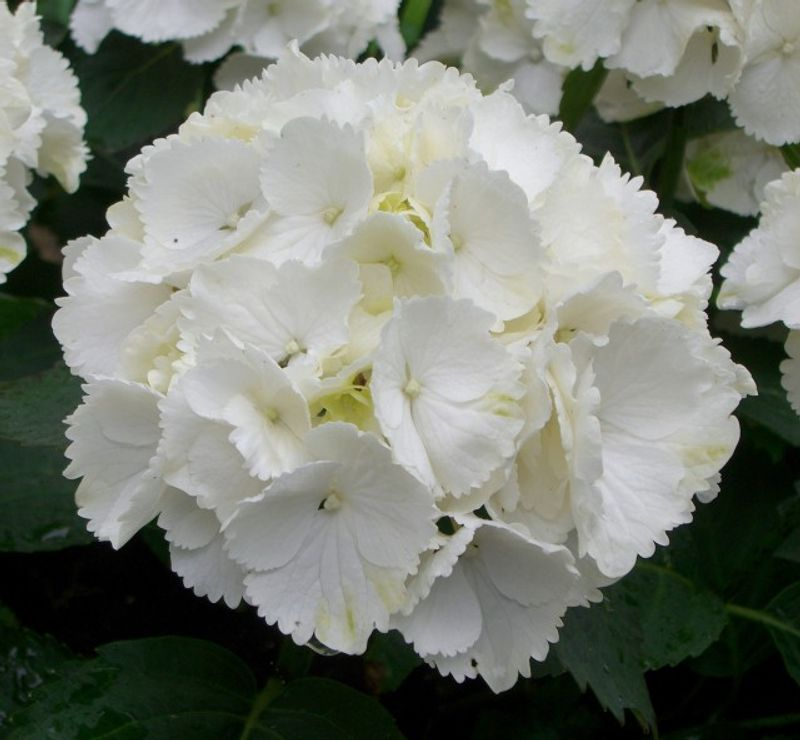 Photo: hortensia macrophylla 'Schneeball'