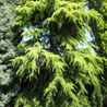 Photo: Cedrus deodara 'Aurea'