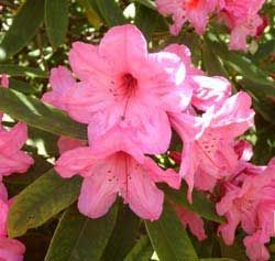 Photo: Rhododendron 'Azor'