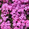 Photo: Phlox subulata 'Atropurpurea'