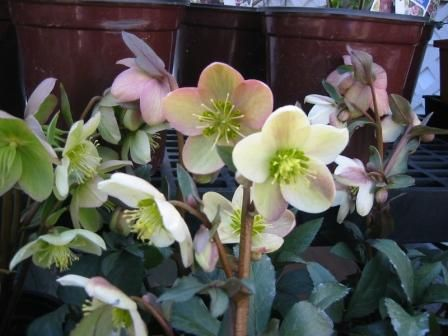 Photo: Helleborus 'Candy Love'