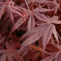 Photo: Acer palmatum 'Bloodgood'