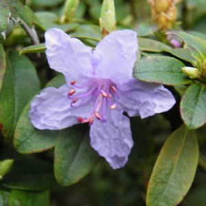 Photo: Rhododendron 'Blue Silver'