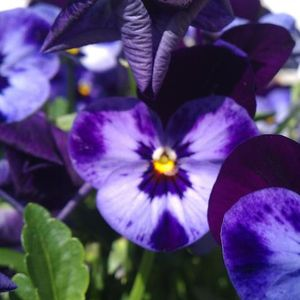 Photo: Viola tricolor