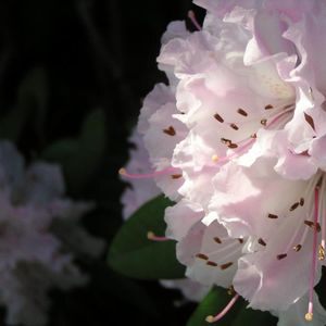 Photo: Rhododendron