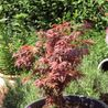 Photo: Acer palmatum 'Shaina'