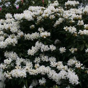 Photo: Rhododendron 'Cunningham's White'
